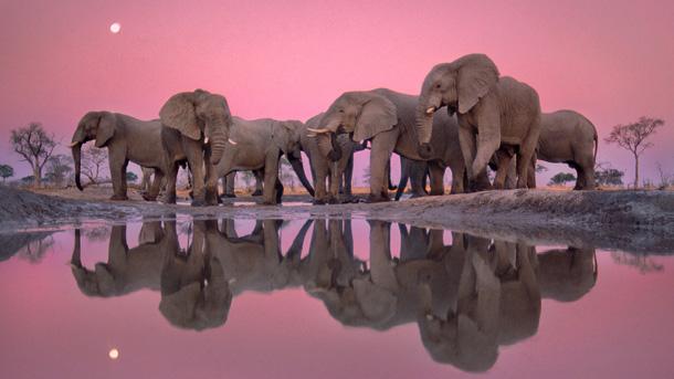 African elephants at twilight, Loxodonta africana, Chobe National Park, Botswana